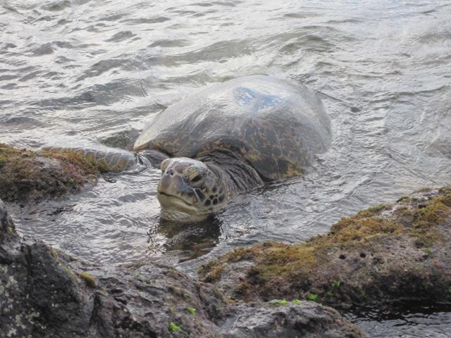 Mrs. Turtle, Napili Bay